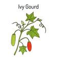 Ivy gourd coccinia grandis or kowai medicinal vector image