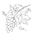 Bunch of grapevine vector image vector image