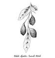hand drawn of fresh chebulic myrobalans on a branc vector image vector image