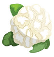 white cauliflower with green leafs of vegetables vector image