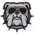bulldog head with aviator sunglasses vector image