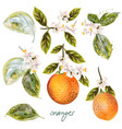 set blooming oranges with fruits and flowers vector image