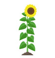 sunflower with green leaves in flat style isolated vector image