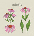echinacea medical botanical isolated vector image vector image