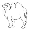 outline bactrian camel vector image vector image