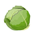 fresh cabbage with green leaves vector image