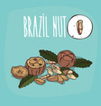set of isolated plant brazil nut nuts herb vector image