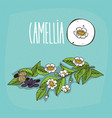 set of isolated plant camellia flowers herb vector image vector image
