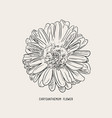 chrysanthemum flower sketch vector image vector image