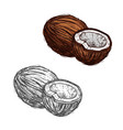 coconut fruit of tropical palm sketch food design vector image