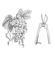grape and scissors hand drawn engraved old looking vector image
