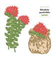 rhodiola quadrifida plant medical and cosmetic vector image