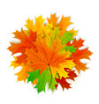maple leaves isolated on white background vector image vector image