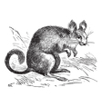 Chinchilla vintage engraving