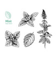 peppermint hand drawn vector image vector image