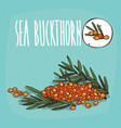 set of isolated plant sea buckthorn fruits herb vector image vector image