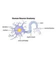 Human Neuron Anatomy vector image vector image
