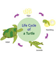 lifecycle of a turtle vector image
