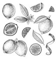 hand drawn limes blooming lime branch half of vector image