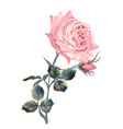 beautiful pink english rose in vintage style vector image vector image