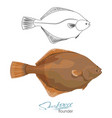 olive flounder sea fish vector image