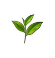 sketch cartoon tea leaves branch isolated vector image