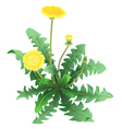 Dandelion flower isolated vector image vector image