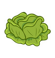 green cabbage cartoon isolated vector image