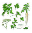 parsley set hand drawn colorful collection vector image vector image