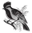 black lored tit vintage vector image vector image