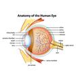 Human eye anatomy vector image vector image