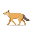 coyote animal standing on a white background vector image vector image