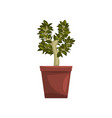 bonsai tree indoor house plant in brown pot vector image vector image