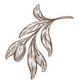 olive branch plant with leaves greek food isolated vector image