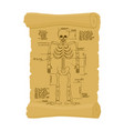 ancient scroll of skeleton archaic papyrus of vector image vector image