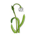 loddon lily isolated on the white vector image vector image