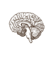 Brain isolated on a white backgrounds vector image vector image