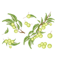Set of Indian Gooseberry on White Background vector image vector image