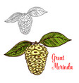 great morinda or mulberry tropical fruit sketch vector image vector image