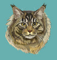 colorful maine coon cat vector image