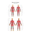 human muscles Female and male vector image vector image