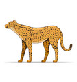 cheetah animal standing on a white background vector image vector image