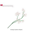 saxifraga cotyledon the native flower of norway vector image vector image