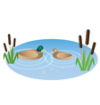 a duck and a duck swimming in a pond vector image