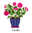camellia plant in pot vector image vector image