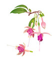 fuchsia flower floral vector image