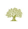 olive tree with broad trunk branches with leaves vector image