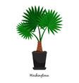 washingtonia plant in pot vector image vector image