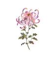 pink chrysanthemum flower floral design vector image vector image