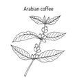 coffee tree branch coffea arabica vector image vector image